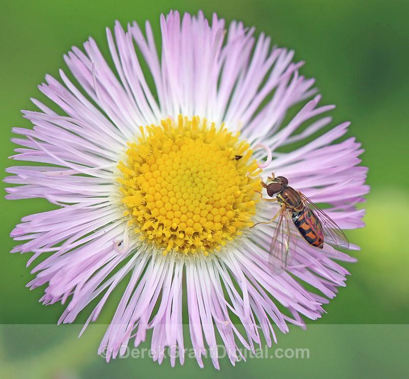 Toxomerus marginatus - Bees, Beetles, Bugs