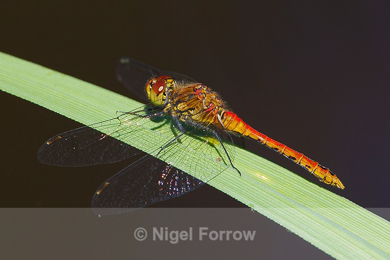 Ruddy Darter (immature male) on Brownsea Island - INSECTS