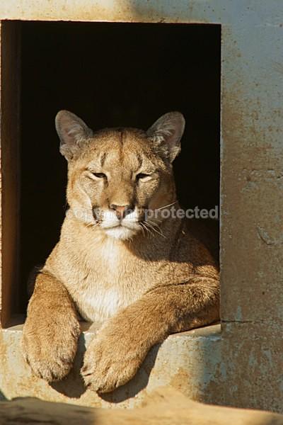 Puma - Cat Survival Trust - Big and Small Wild Cats