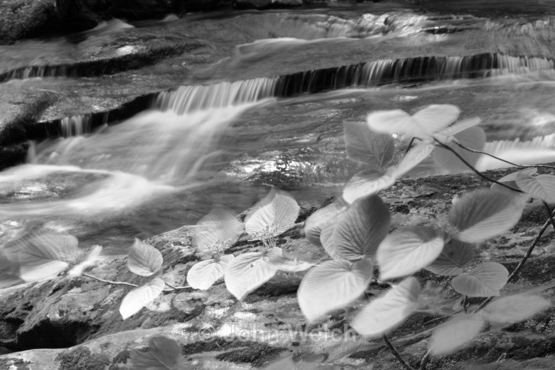 Hobblebush at Gordon Falls B & W - White Mountain National Forest and Northern New Hampshire