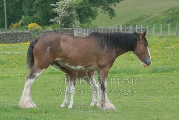 ryecroft-4 - Clydesdales 2013 Include Foals
