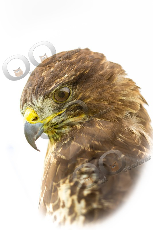 Buzzard buteo buteo-8841 - BoP from around the world