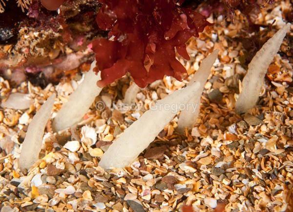 Ciocalypta penicillus - Sponges (Porifera)