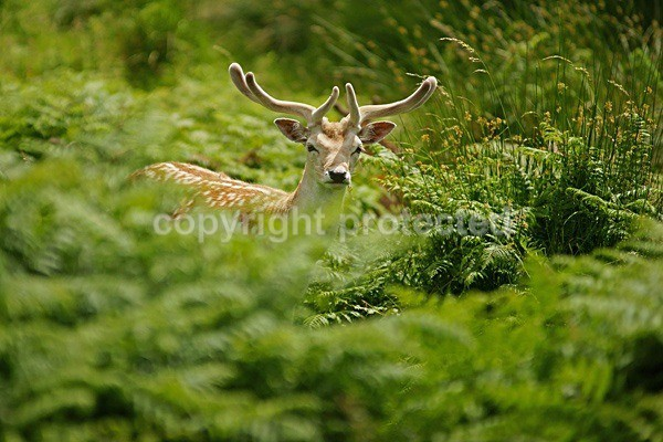 Fallow Deer (Bradgate Park, Leicestershire) - British Wildlife