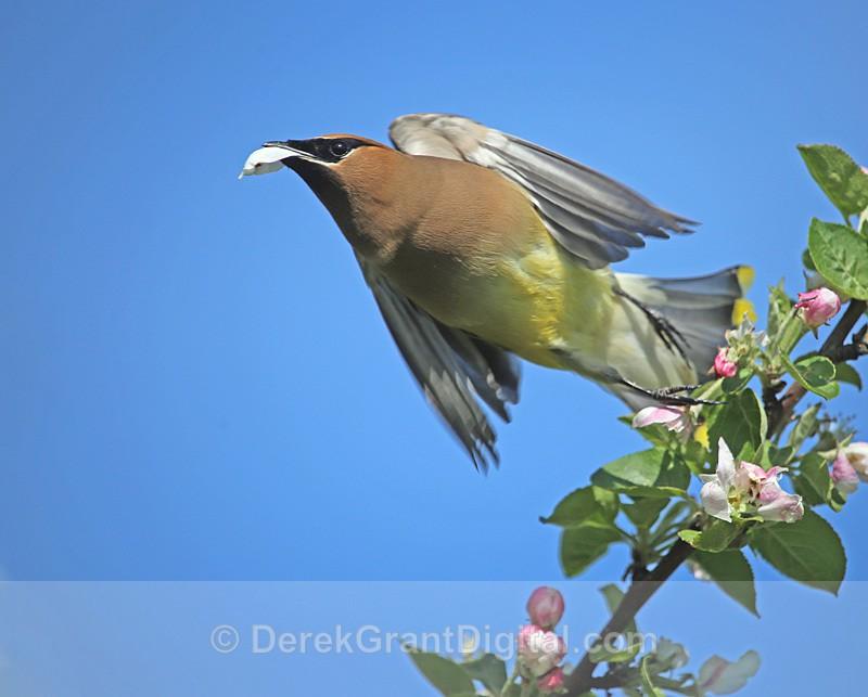 Bombycilla cedrorum - Birds of Atlantic Canada