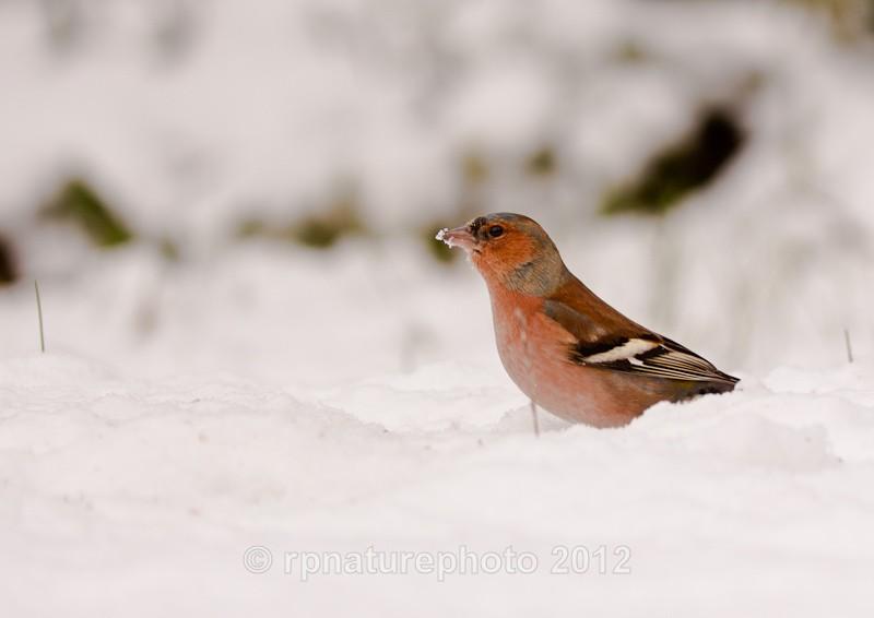 Chaffinch - Fringilla coelebs RPNP0068 - Birds