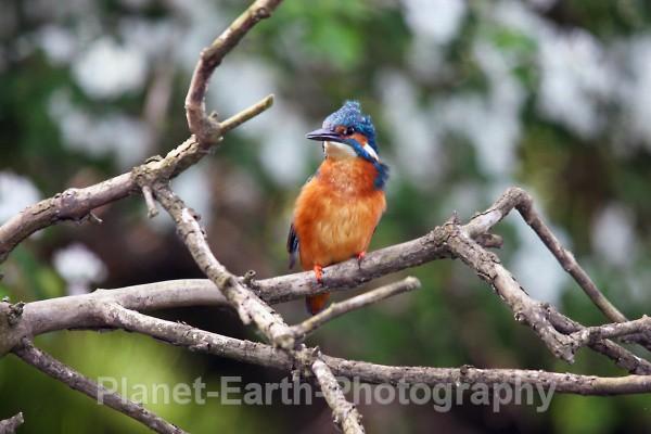 Kingfisher 2 - Kingfishers