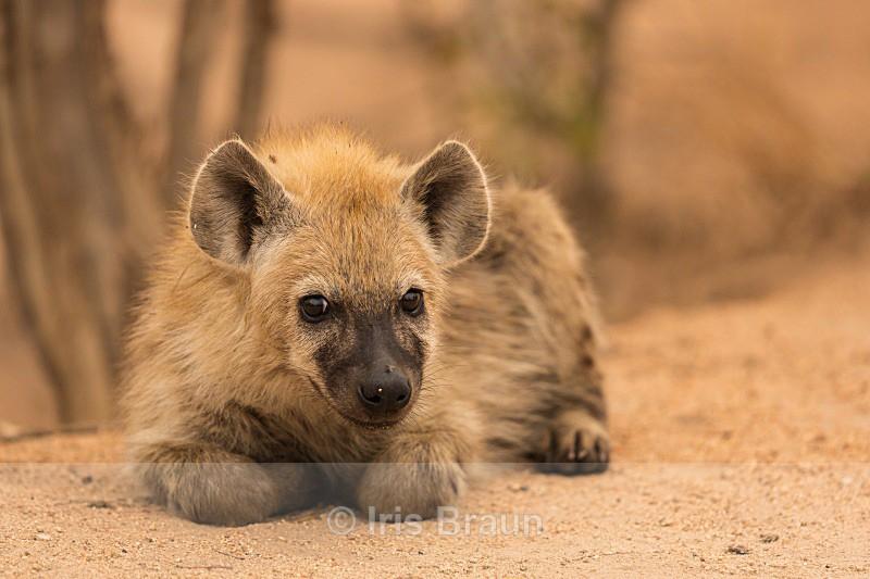 Cub - Hyena