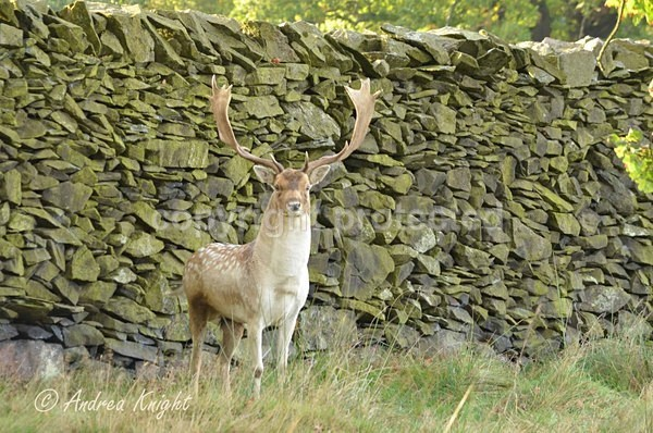 Fallow Deer Stag (© Andrea Knight) - Bradgate Park - Customer Images