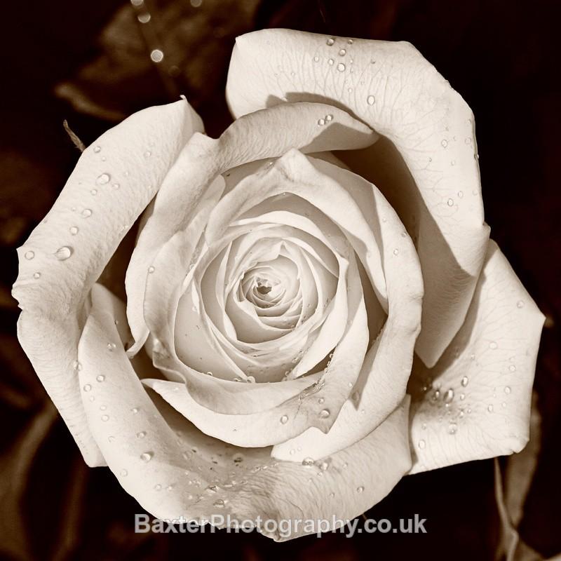 White Rose - Miscellaneous