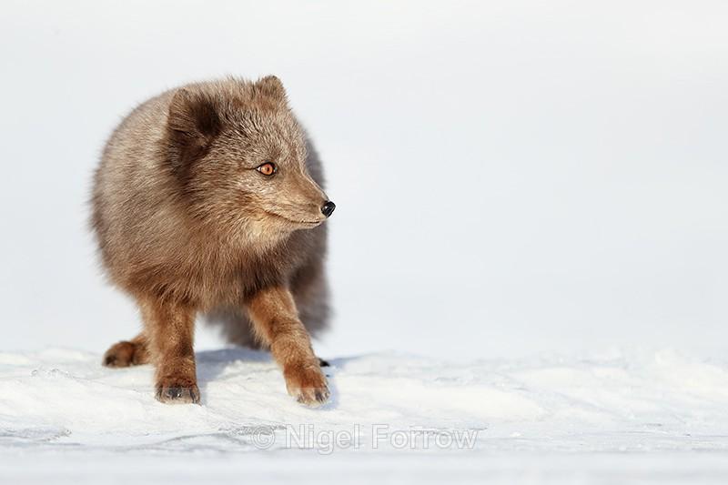 Arctic Fox (dark), Svalbard, Norway - Arctic Fox