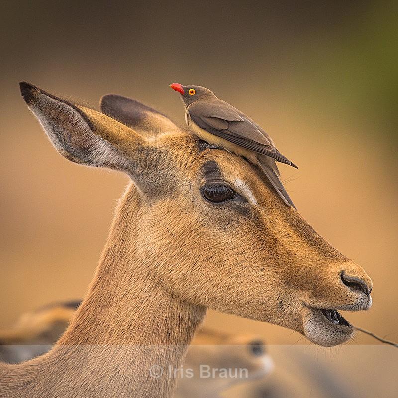 Headache - Antelope