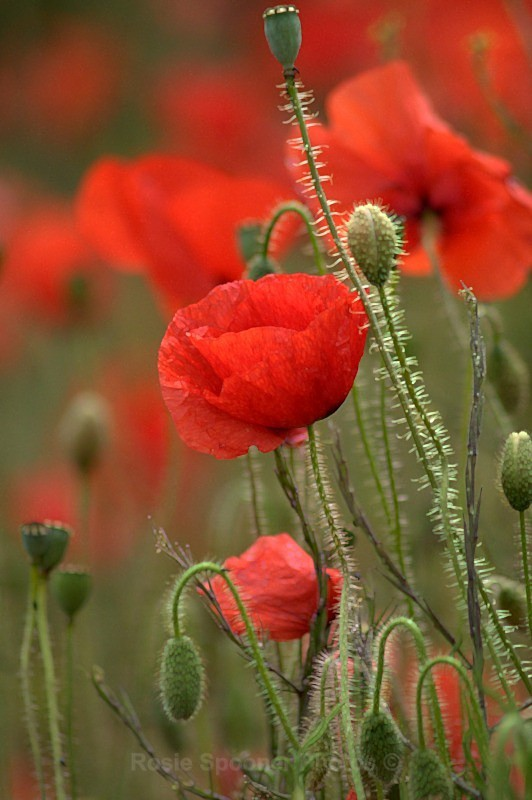 Poppies - Bluebells and other Flowers and Leaves