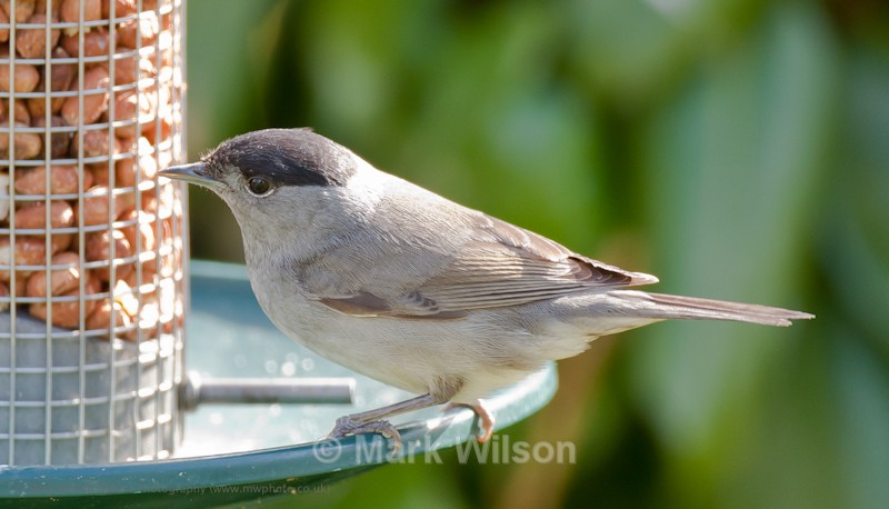 Blackcap (M) - On the feeders
