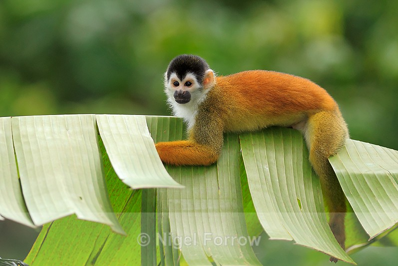 Squirrel Monkey lying on a banana leaf at Bosque del Cabo, Costa Rica - Monkey