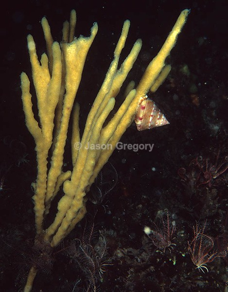 Haliclona oculata - Sponges (Porifera)