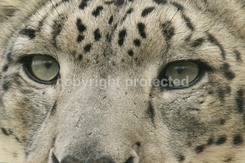 Mizi, the female snow leopard at WHF