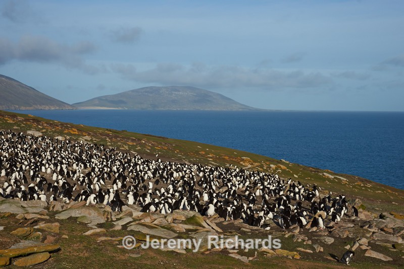 Rockhopper Penguin colony - Saunders Island