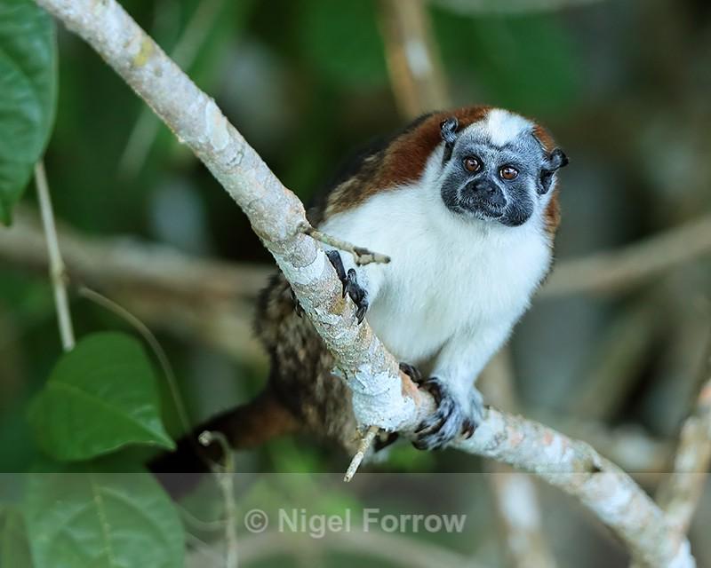 Geoffroy's Tamarin on branch, Panama - Monkey
