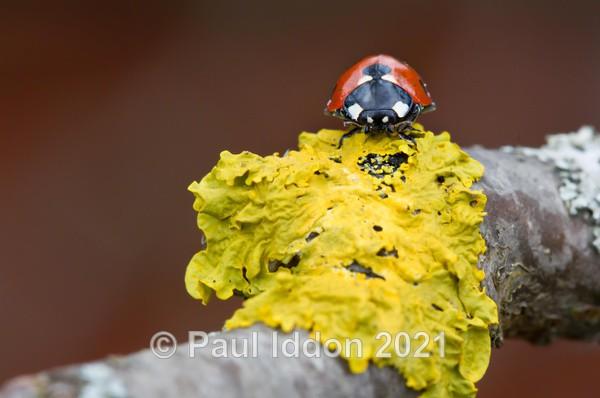 Ladybird - Macro
