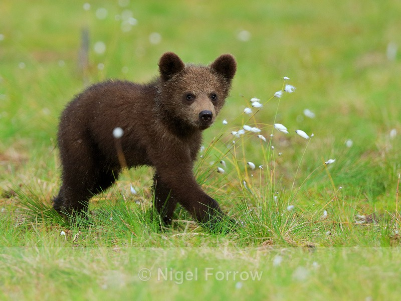 Brown Bear cub from the Swamp Hide at Martinselkonen - Brown Bear