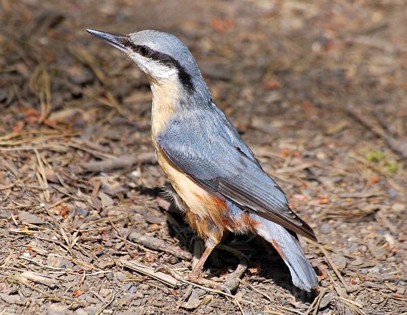 Nuthatch Stover Park, Newton Abbott - Birds