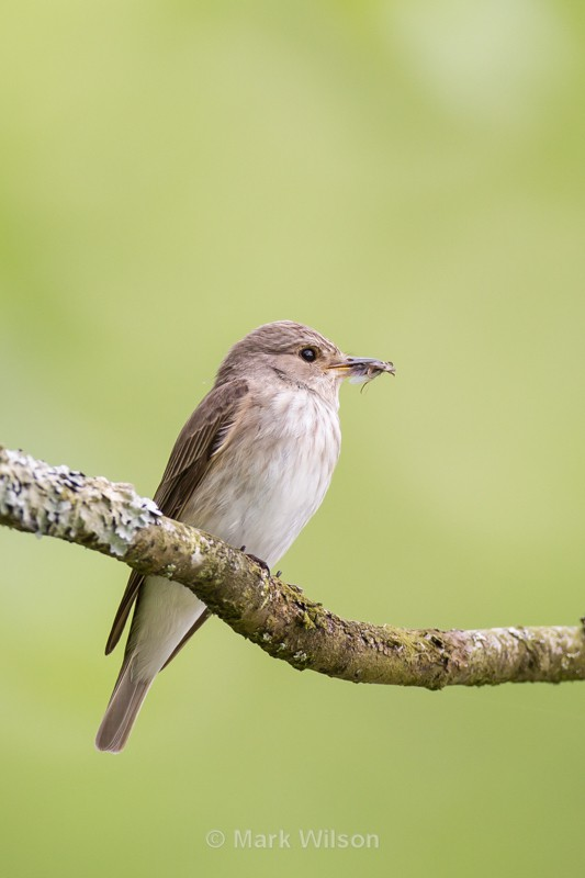 Spotted Flycatcher - The rest.....