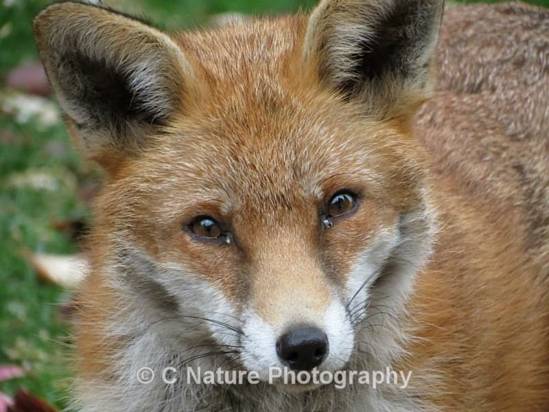 Fox - Animals