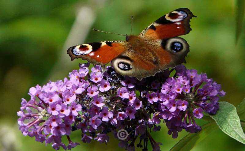 Butterfly and Buddleja - FLOWERS