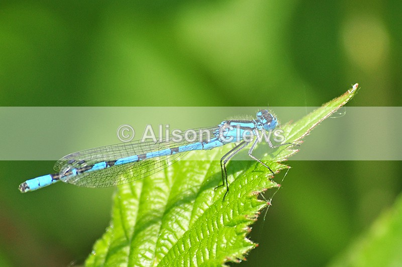 Blue Damselfly - Wildlife