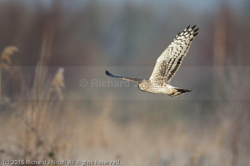 Hen Harrier (Circus cyaneus) - Hen Harrier (Circus cyaneus)