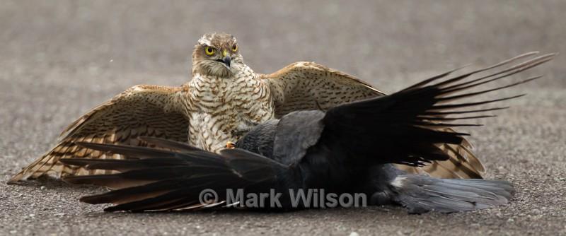 Sparrowhawk (F) w Jackdaw - Birds of prey & owls