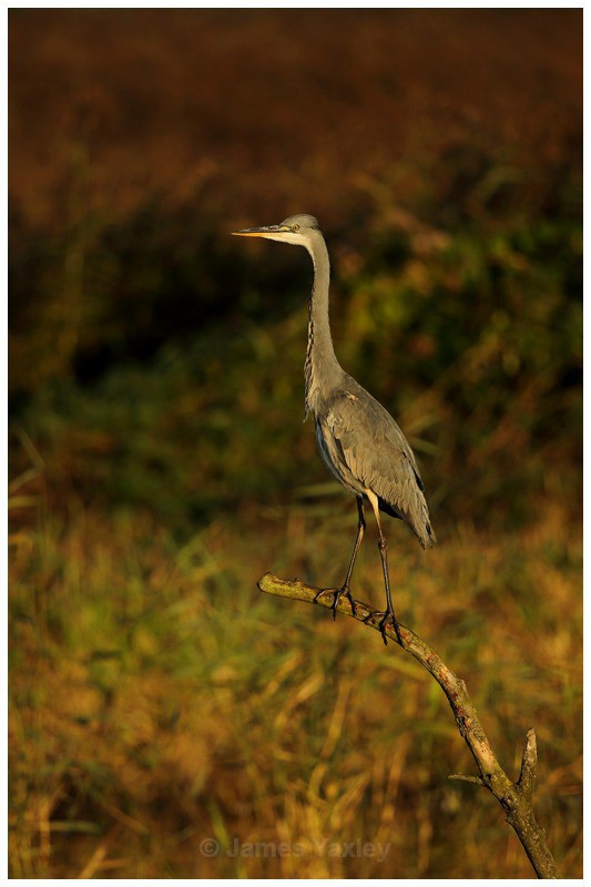 Grey Heron on Kingfisher Perch 1 - River Scrape & Lake