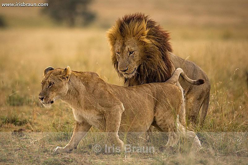 Lions Love I - Lion