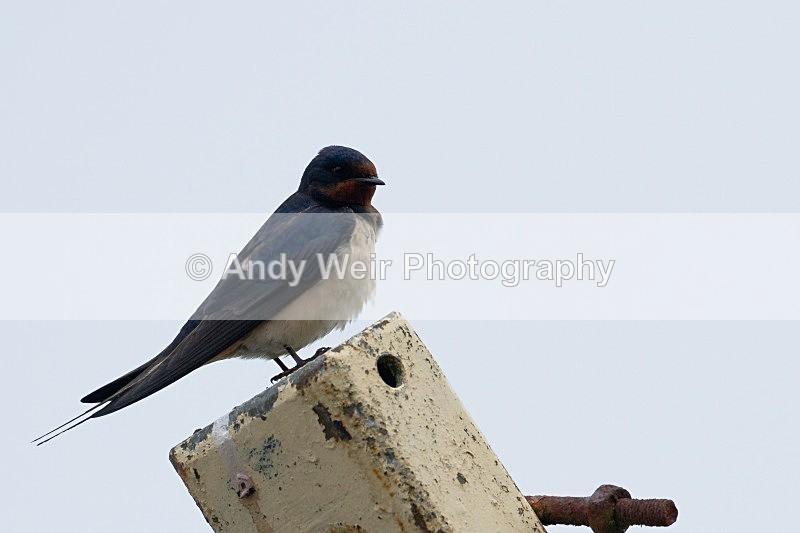 20120529-_MG_9335 - Swallows, Swifts & Martins