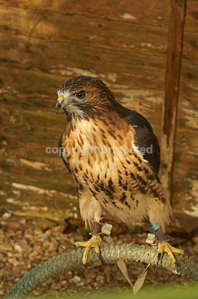 Red-tailed Hawk - Jake - Our Bird of Prey and Leopard Images