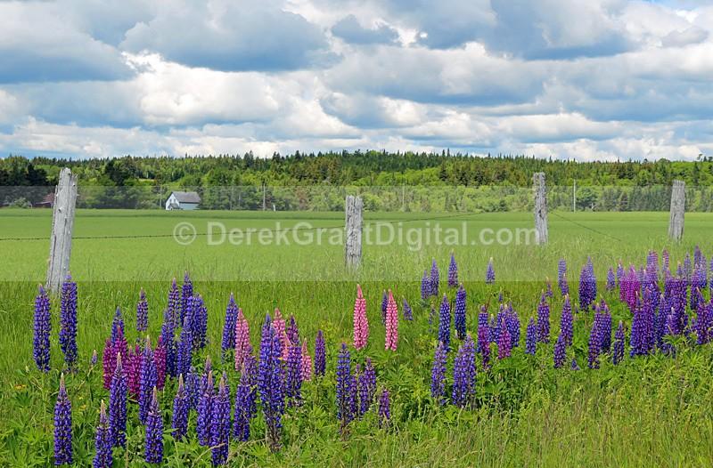 Roadside Lupines New Brunswick Canada - New Brunswick Landscape
