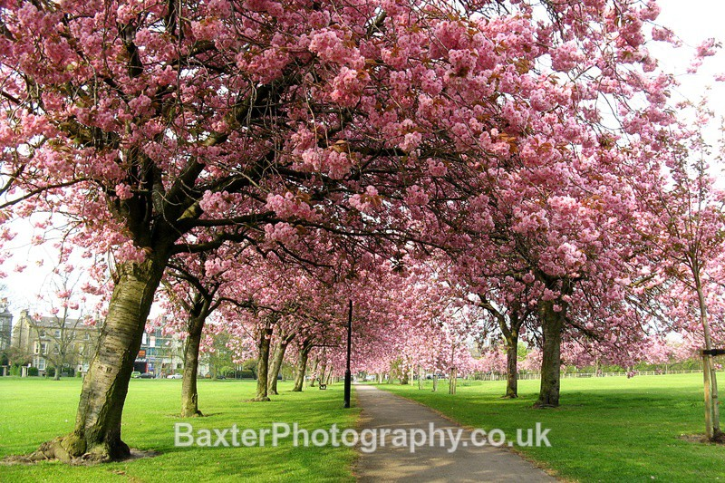 Cherry Blossom Path - Harrogate Town