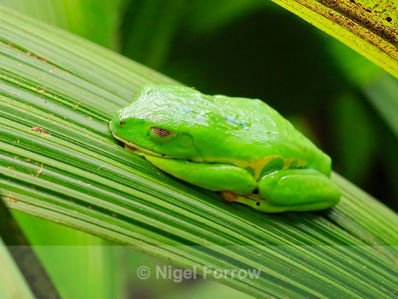 Red-eyed Tree Frog in camouflage mode, La Paz Gardens, Costa Rica - REPTILES & AMPHIBIANS