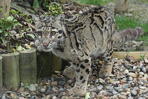 275 MANDALAY - BIG CATS