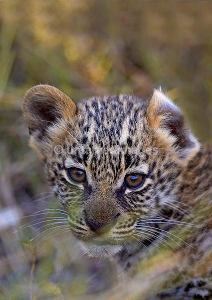 Leopard cub 2 - Botswana