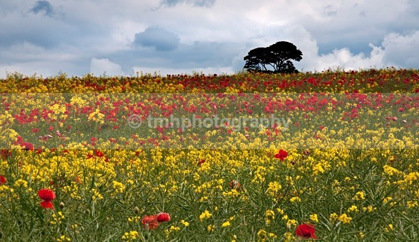 Poppies & Oil Seed Rape. - Yorkshire Countryside