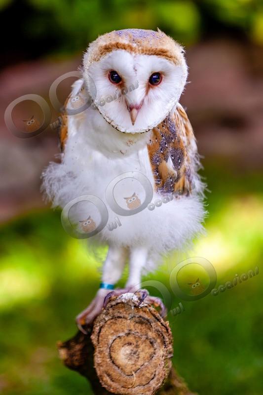 barn owl tyto alba-0143 - BoP from around the world