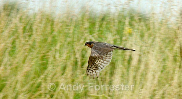 Sparrow Hawk - Birds