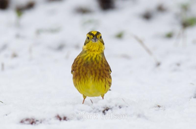 Yellowhammer - Garden birds