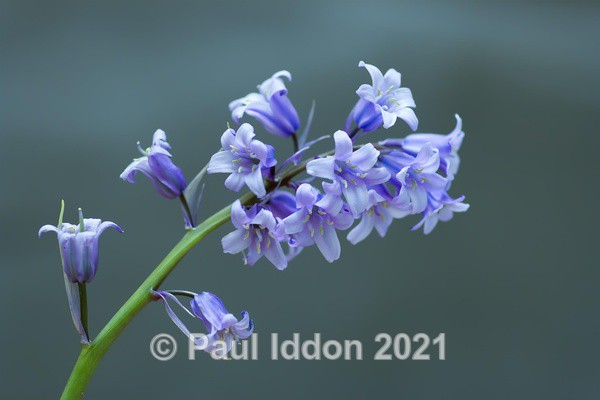 Bluebells - Creative