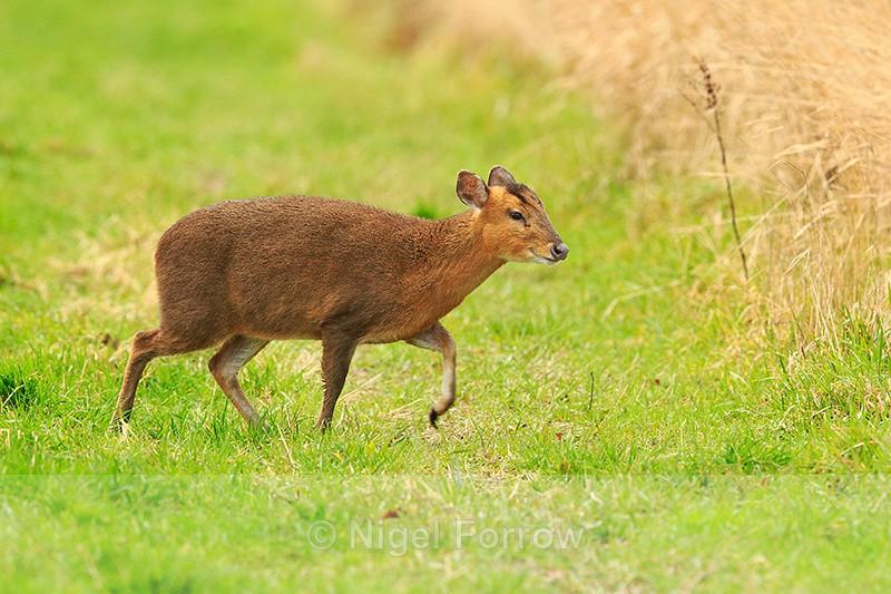 Muntjac Deer at Otmoor RSPB - Deer