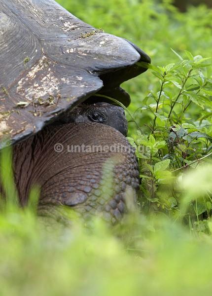 Galápagos giant tortoise 1 - Galapágos