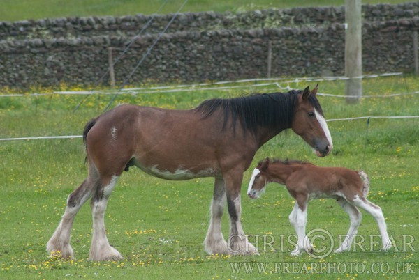 ryecroft-22 - Clydesdales 2013 Include Foals