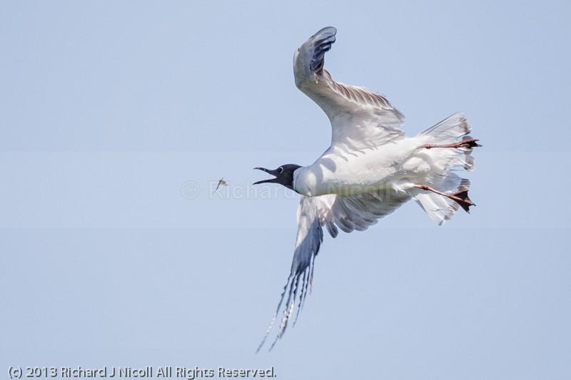Black-headed Gull (Chroicocephalus ridibundus) catching Mayfly - Black-headed Gull (Chroicocephalus ridibundus)